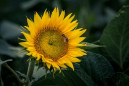 sunflower attracting a bee